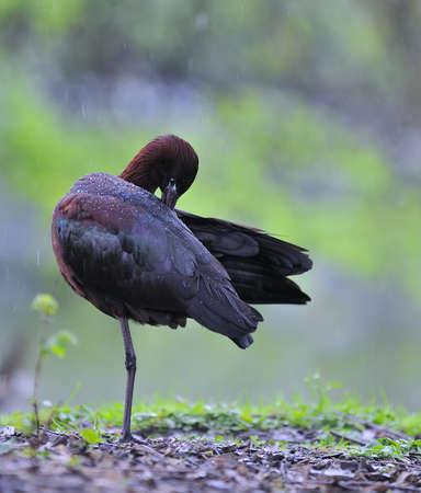 Glossy ibis, Plegadis falcinellus photo