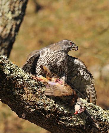 azor: Azor cazando una perdiz. Foto de archivo