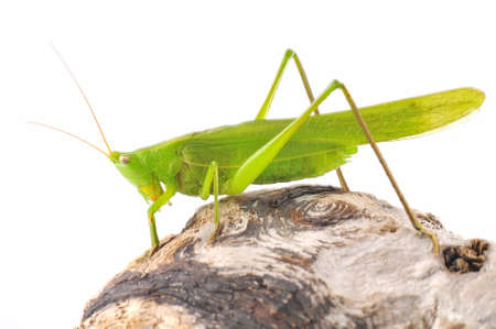 Grasshopper. Stock Photo - 14733276