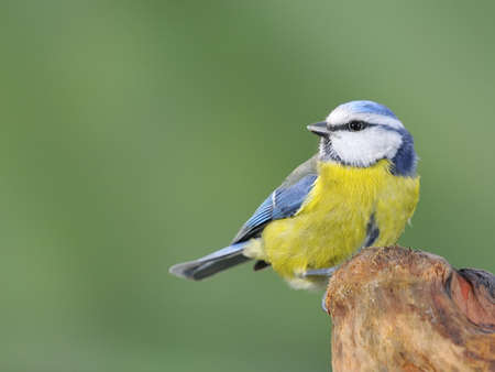 blue tit: Blue tit, cyanistes caeruleus Stock Photo