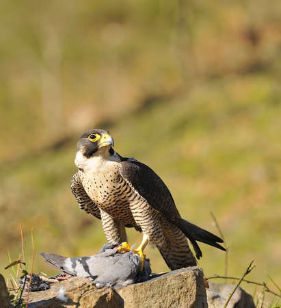 Peregrine Falcon hunting a pigeon in forest.