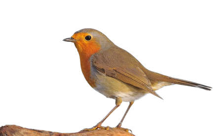erithacus: Erithacus rubecula isolated on white background