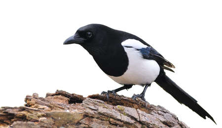 A Isolated magpie on a white background