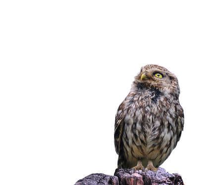 athene: Little Owl perched isolated a white background   Stock Photo