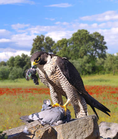 bird of prey: Peregrine Falcon hunting a pigeon adove a stone