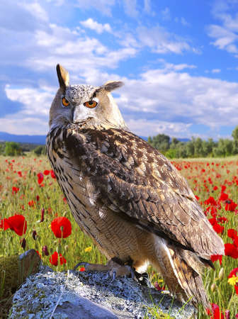 Euroasian eagle owl  photo