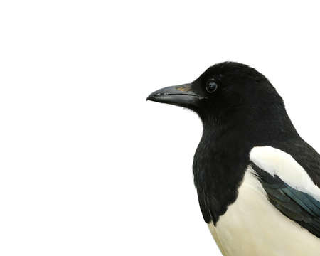 corvidae: One Isolated magpie with a white background