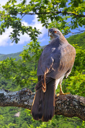 Goshawk perched on a tree in forest  photo