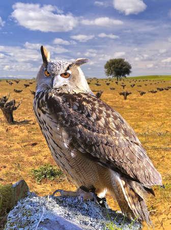a large bird of prey: Euroasian gufo reale Archivio Fotografico