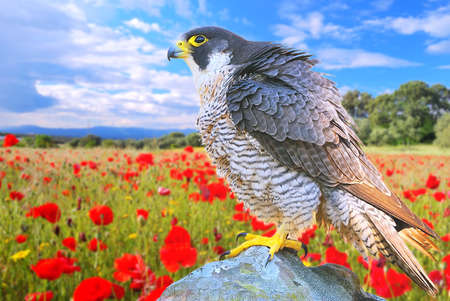 falco peregrinus: Peregrine Falcon in a poppy field on a stone