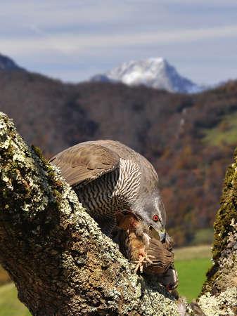 azor: Azor cazar una perdiz en el bosque