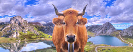 Cow in the lakes of Covadonga in Asturias, Spain  photo