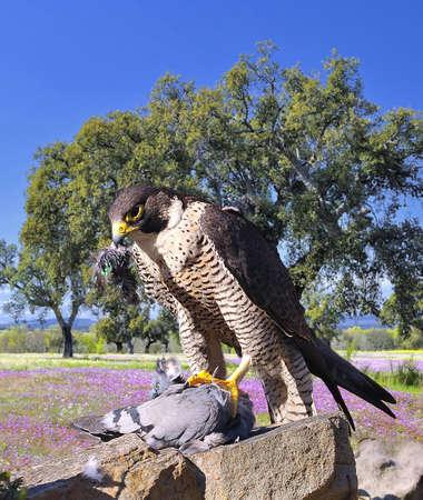 falconry: Peregrine Falcon hunting a pigeon adove a stone