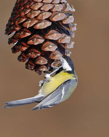 tom tit: Great tit eating cone pine nuts in a forest  Stock Photo