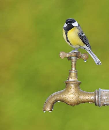 Mésange perché sur un robinet dans le jardin