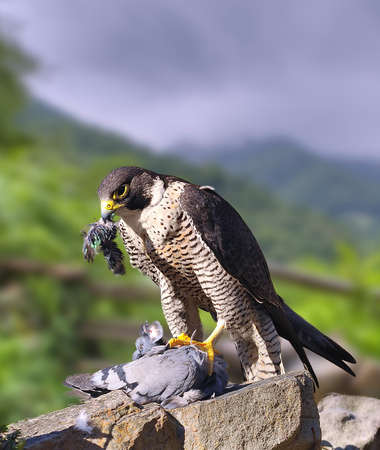 falco: Peregrine Falcon dining on a pigeon perched a stone