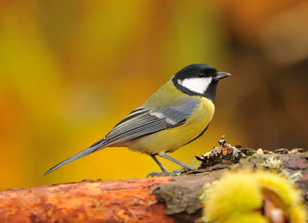 Parus major in the forest an autumn day