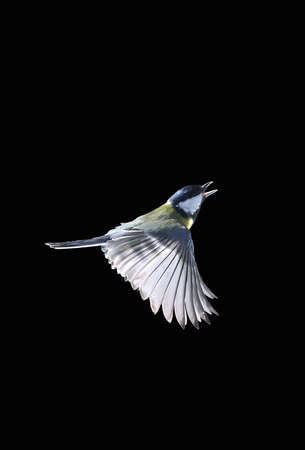 Great tit in flight on a black background  Stock Photo - 15808920