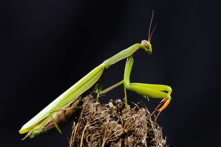 Isolated green mantis on a black background  Stock Photo - 17325640
