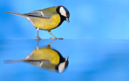 Great tit reflected in water on a blue background Stock Photo - 17344529