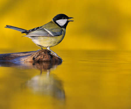 Great tit at sunset on yellow background  Stock Photo - 17344528