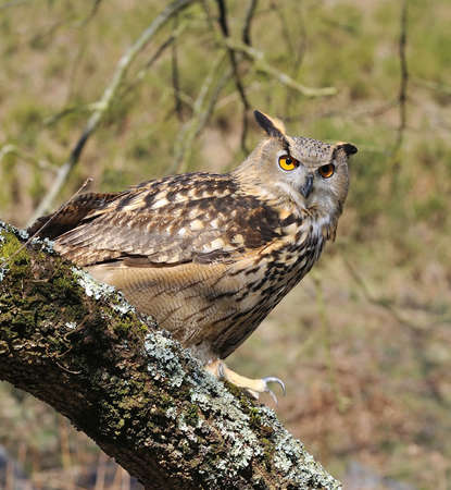Euroasian eagle owl on a tree forest. photo