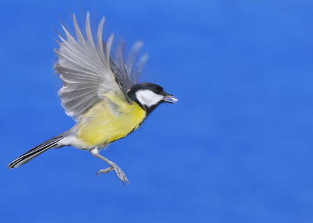 Great tit eating in flight with blue background Stock Photo - 17421651