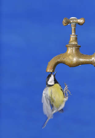 Bird in flight drinking water from a tap Stock Photo - 17421673