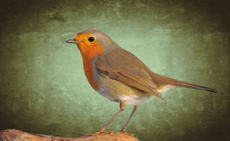 Robin,Erithacus rubecula on a green background  photo