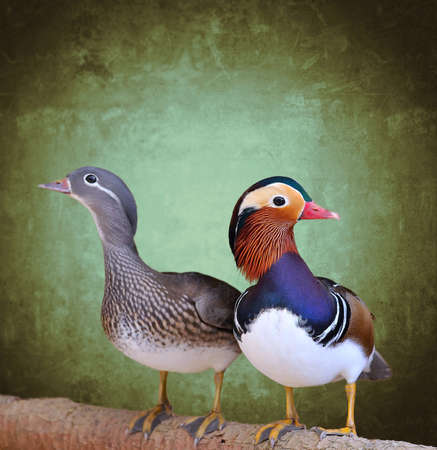 Couple of mandarin duck with green background  photo