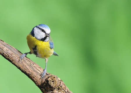 Blue tit, cyanistes caeruleus on green background  photo