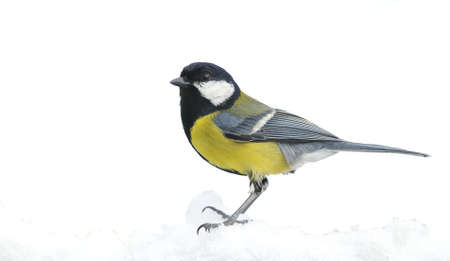 great tit: Great tit, Parus major in the snow  Stock Photo