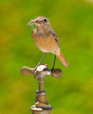 Female redstart perched on a faucet on green background  photo