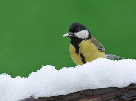 tom tit: Great tit, Parus major in the snow  Stock Photo