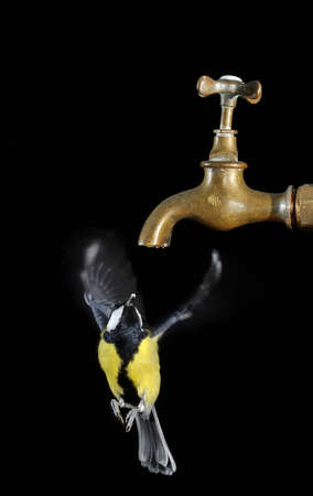Great tit and faucet on black background  photo