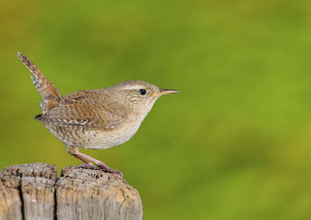 troglodytes: Winter wren, Troglodytes troglodytes on green background