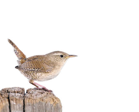 Winter wren, Troglodytes troglodytes on white background