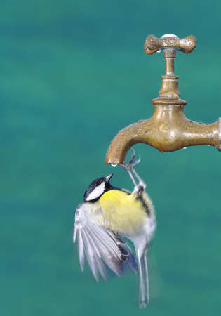 Thirsty Bird drinking from a faucet   photo