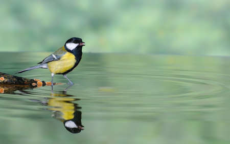 Great Tit, Parus major el agua potable en el jard�n photo