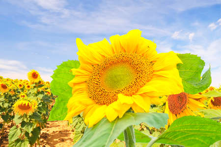 agricultura: A great sunflower on a sunflower field