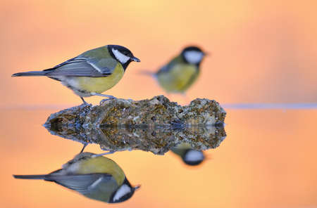 Parus major, great tit in the water  photo