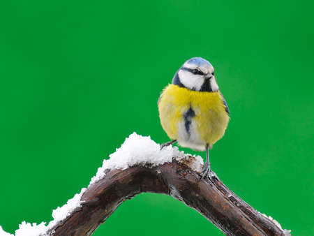 cyanistes: Blue tit,cyanistes caeruleus in snow on green background  Stock Photo
