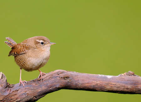 Winter wren, Troglodytes troglodytes on green background