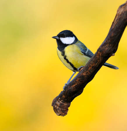 parus major: Great tit, Parus major on yellow background  Stock Photo