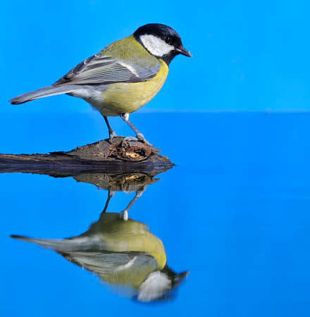 Great tit, Parus major in the water  photo