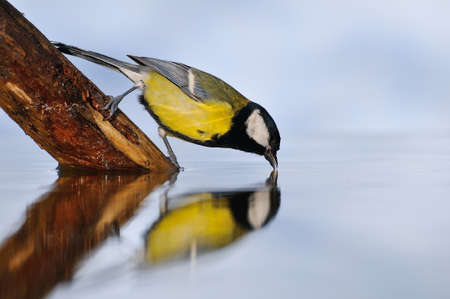 Great tit bird photo