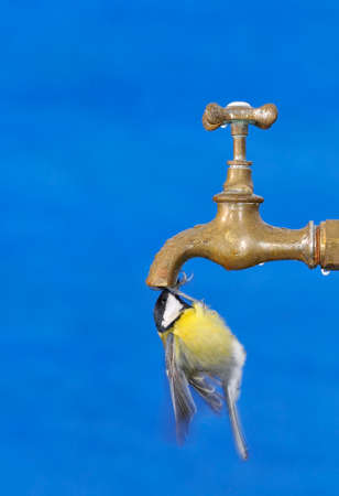 Bird drinking water from a faucet with blue  photo