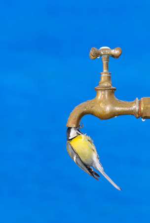Bird drinking water from a faucet with blue background  photo