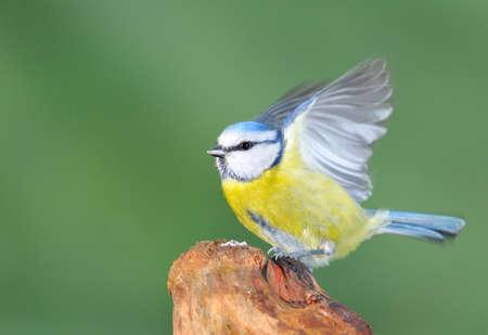 caeruleus: Blue tit, cyanistes caeruleus on grenn background
