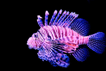 Isolated red lionfish on a black background  photo